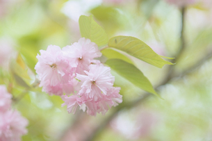 淡き八重桜の素材 [FYI00481431]