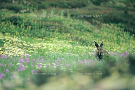 ユキウサギの素材 [FYI00481438]