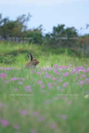 ユキウサギの素材 [FYI00481443]