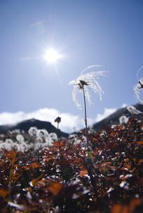 青空の下で健気に咲くチングルマの写真素材 [FYI00481515]