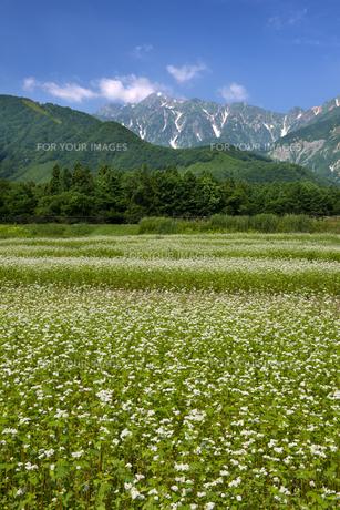 そば畑と五龍岳の素材 [FYI00481520]