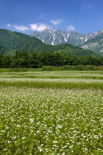 そば畑と五龍岳の写真素材 [FYI00481520]