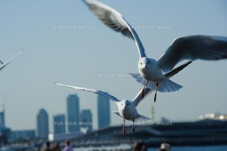 横浜市山下公園の海鳥たちの写真素材 [FYI00481551]