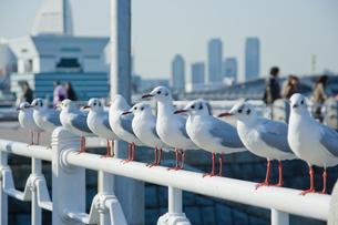 横浜市山下公園の海鳥たちの写真素材 [FYI00481552]
