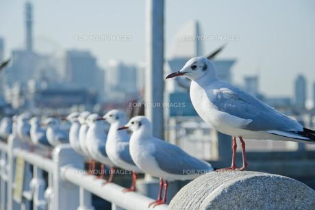横浜市山下公園の海鳥たちの素材 [FYI00481556]