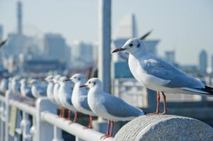横浜市山下公園の海鳥たちの写真素材 [FYI00481556]