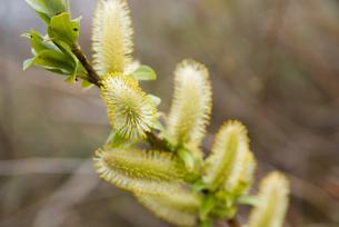 ネコヤナギの芽の写真素材 [FYI00481564]