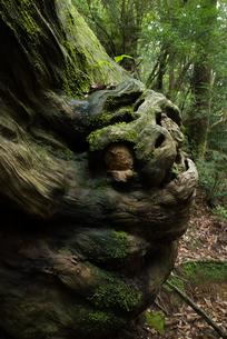 屋久島に住まう怪物の写真素材 [FYI00481569]