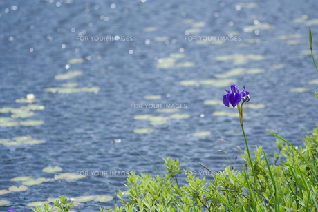 池塘のアヤメの素材 [FYI00481570]