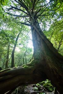 屋久島の三本足杉の写真素材 [FYI00481578]