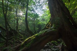 屋久島・三本杉の写真素材 [FYI00481581]