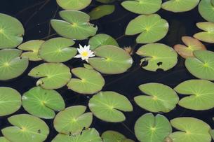池塘のヒツジグサの写真素材 [FYI00481583]