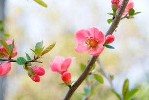 ボケの花の素材 [FYI00481586]