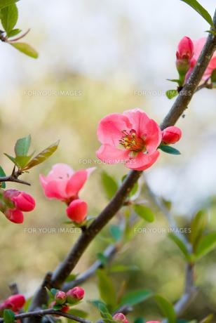 ボケの花の素材 [FYI00481591]