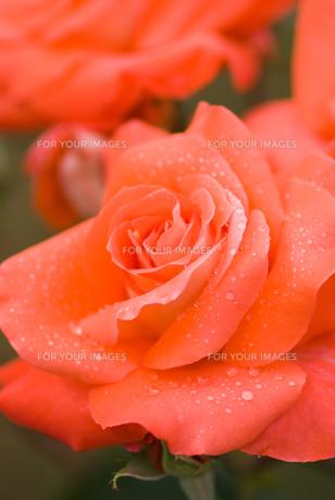 湿り気あるバラの花の素材 [FYI00481615]