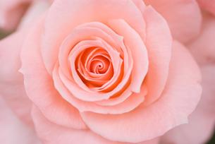 バラの花のクローズアップの写真素材 [FYI00481621]