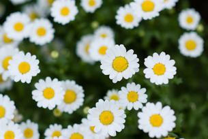 可愛らしい花たちの写真素材 [FYI00481623]