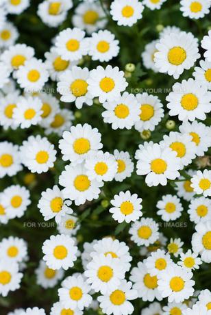 可愛らしい花たちの写真素材 [FYI00481624]