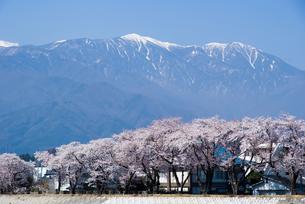 中央アルプスと桜の素材 [FYI00481627]