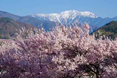 桜と南アルプスの素材 [FYI00481629]