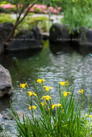 黄色いアヤメの写真素材 [FYI00481630]
