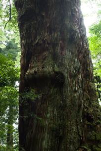 屋久島の森の木の樹肌の素材 [FYI00481669]