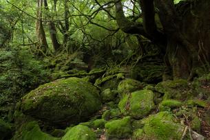 屋久島・白谷雲水峡の森の苔の素材 [FYI00481674]