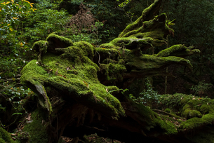 屋久島の朽木と苔の素材 [FYI00481684]