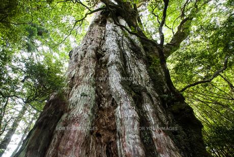 屋久島の紀元杉の素材 [FYI00481686]
