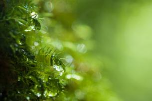 まるで魚のよう・屋久島の森の水滴の写真素材 [FYI00481696]