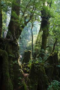 屋久島の深遠なる森の写真素材 [FYI00481698]