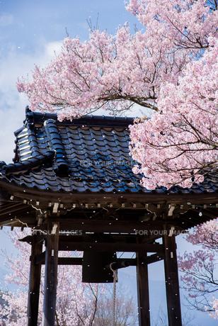 桜吹雪と鐘つき堂の素材 [FYI00481756]