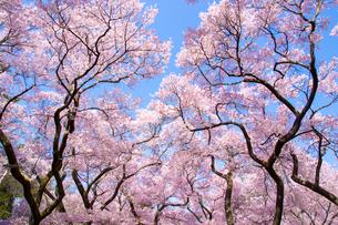 高遠城址公園の桜の素材 [FYI00481770]