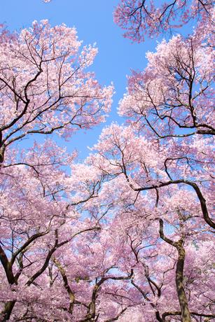高遠城址公園の桜並木の素材 [FYI00481771]