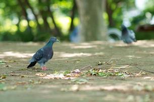 公園の鳩さんの素材 [FYI00481776]