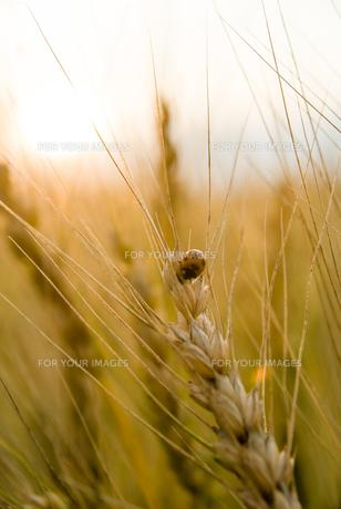 小麦畑とテントウムシの素材 [FYI00481871]