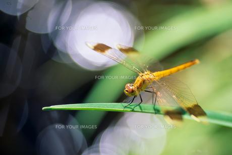 きらめきのトンボ - Dragonfly of glitterの素材 [FYI00481878]