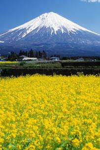 菜の花畑と富士山 - Mt.Fuji and rape fieldの写真素材 [FYI00481880]