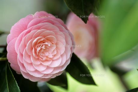 うつむいた乙女椿 - Maiden camellia you downcastの写真素材 [FYI00481881]
