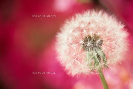 ツツジを背景にしたタンポポの綿毛 - Fluff of dandelion against the background of azaleaの素材 [FYI00481883]