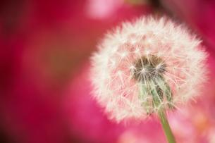 ツツジを背景にしたタンポポの綿毛 - Fluff of dandelion against the background of azaleaの写真素材 [FYI00481883]