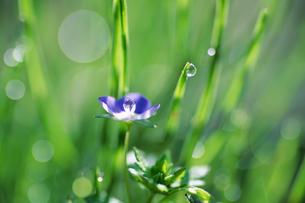 朝露とオオイヌノフグリ - Veronica persica and morning dewの素材 [FYI00481884]