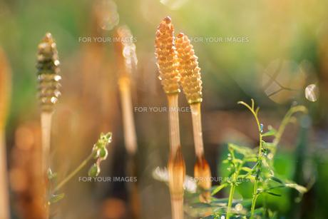 よりそうツクシ - Horsetail more soの写真素材 [FYI00481886]
