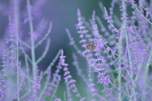 ラベンダー畑の蝶 - Butterfly of a lavender fieldの写真素材 [FYI00481888]