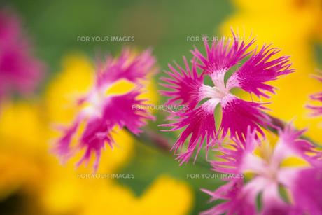 ナデシコの花 - Flower of pinkの素材 [FYI00481889]