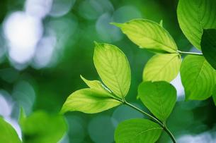 森のなかの新緑の写真素材 [FYI00481890]