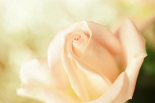 白い情熱のバラ - White rose of passionの素材 [FYI00481891]