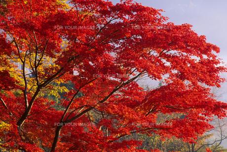 箱根・仙石原の紅葉 - Foliage of Hakone Sengokubaraの素材 [FYI00481892]