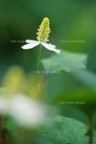 ドクダミの花の素材 [FYI00481902]
