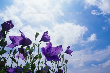 夏空にキキョウの花の素材 [FYI00481904]